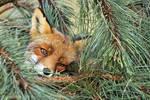 PineFox