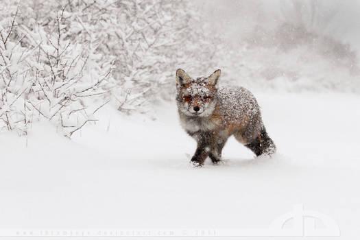 Fox in a snowstorm.