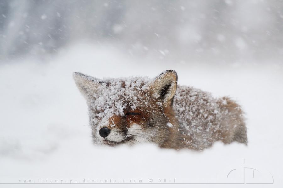 Fox in a Snowstorm
