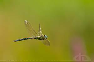 Flying Dragon by thrumyeye