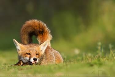 Lazy Fox II by thrumyeye