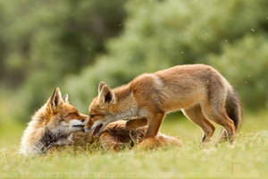 Foxy Moment