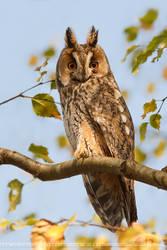 Alarmed Owl by thrumyeye