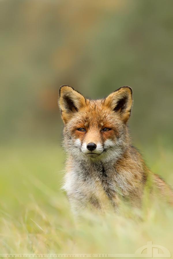 Suspicious Fox by thrumyeye