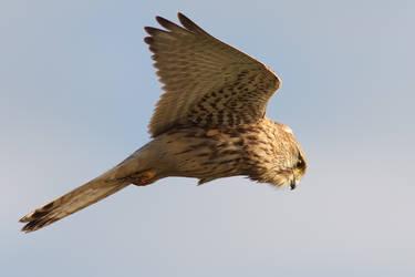 Hovering Kestrel by thrumyeye