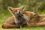 Grooming Foxes