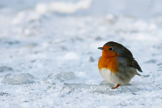 Icecold Robin
