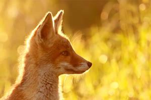 Red Fox Dreams by thrumyeye