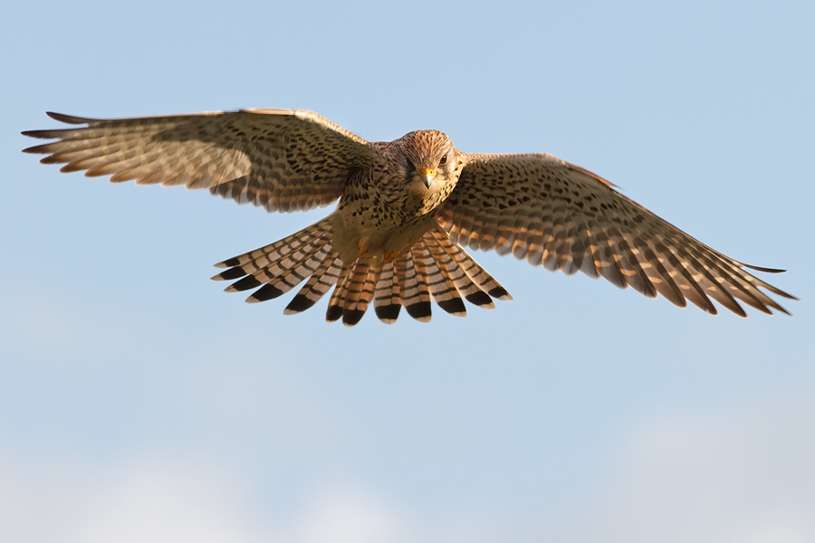 Frontal Kestrel by thrumyeye