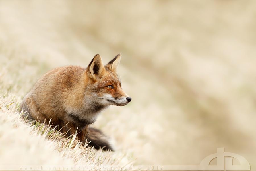 Fox Focus by thrumyeye