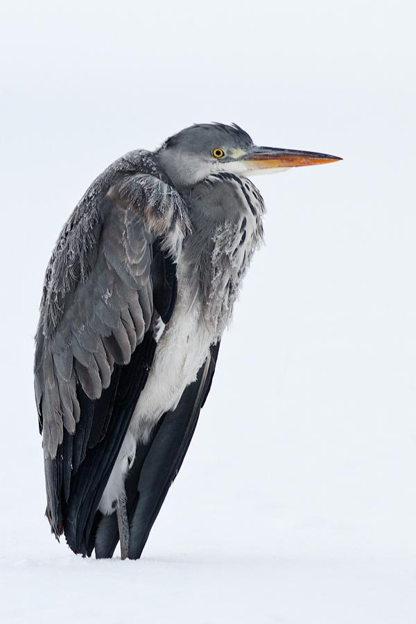 Icecold Heron by thrumyeye