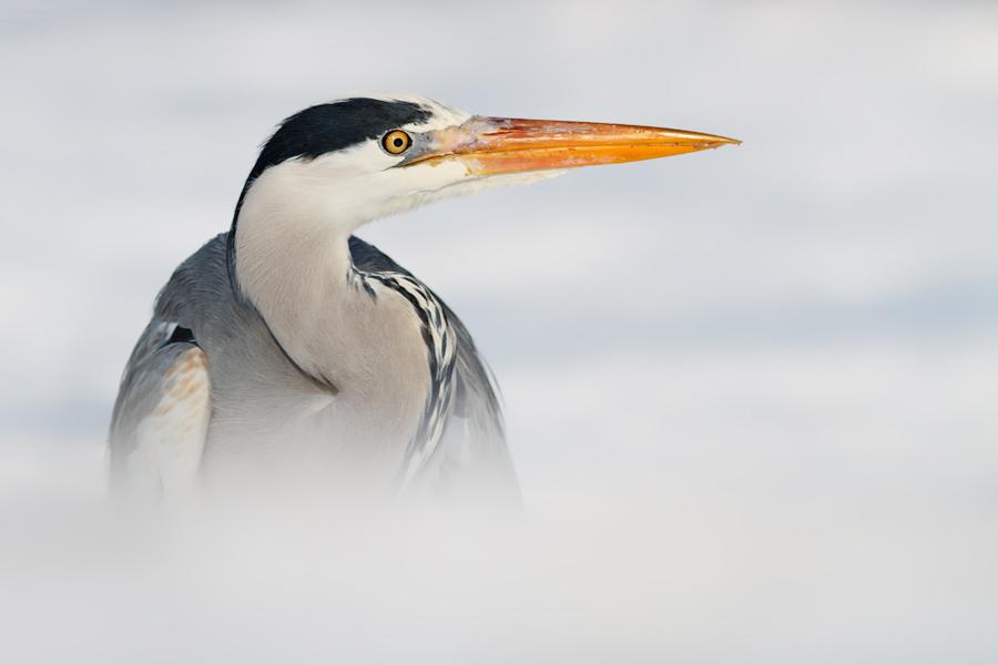 Hidden Heron by thrumyeye