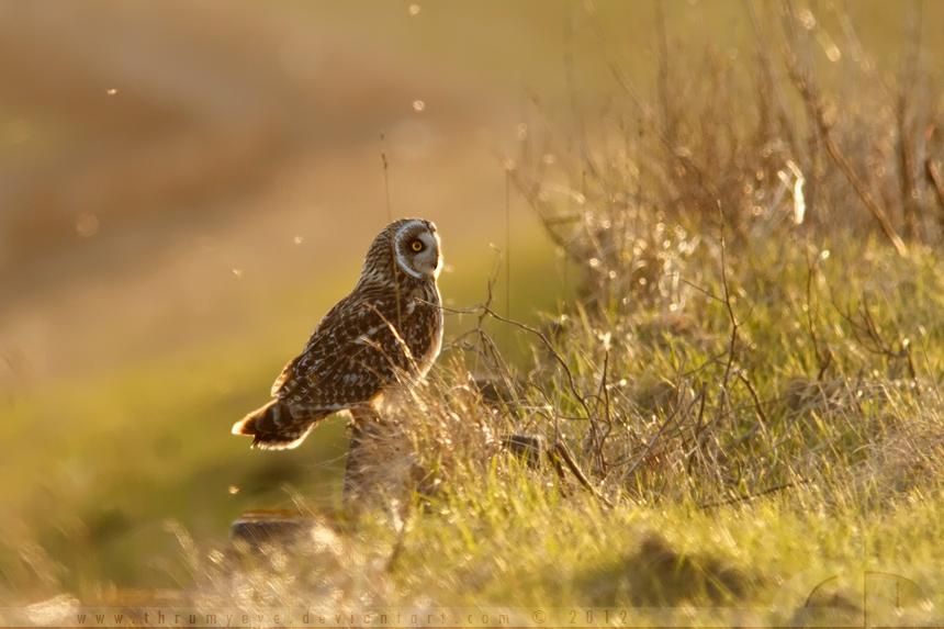 Spring Owl by thrumyeye