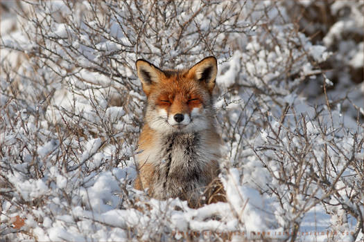 Happy Fox in WinterCoat