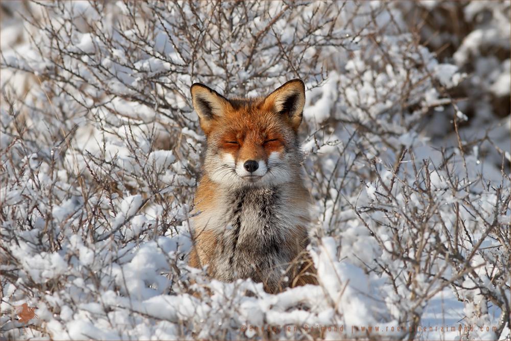 Happy Fox in WinterCoat by thrumyeye