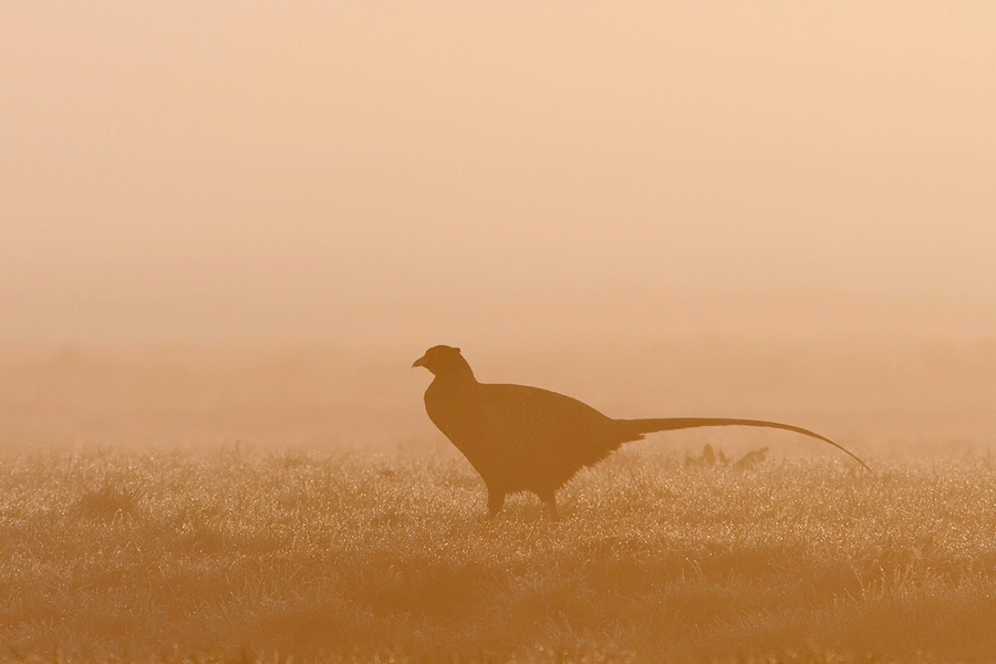 Morning Pheasant by thrumyeye