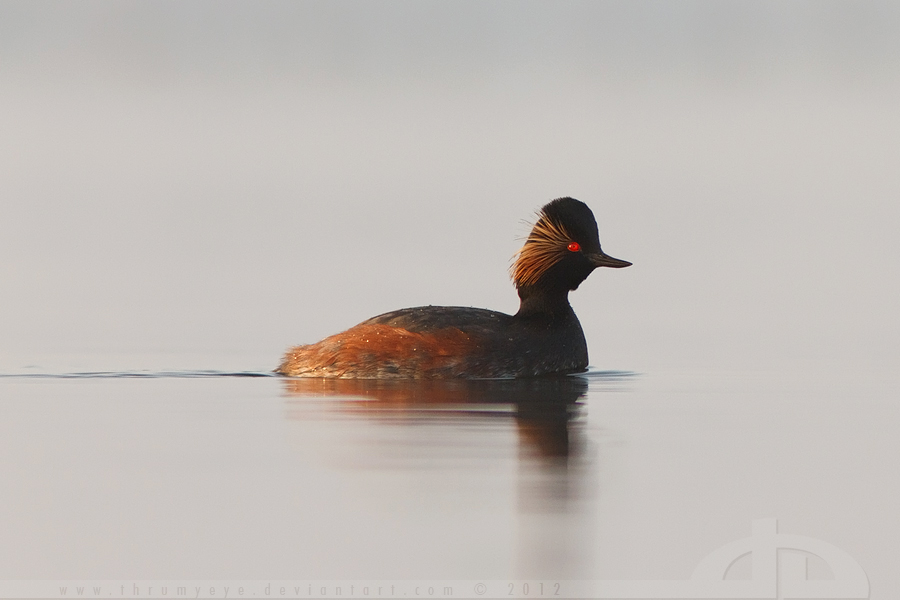My First Black-Necked Grebe by thrumyeye