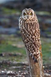 What Short Eared Owl, where? by thrumyeye