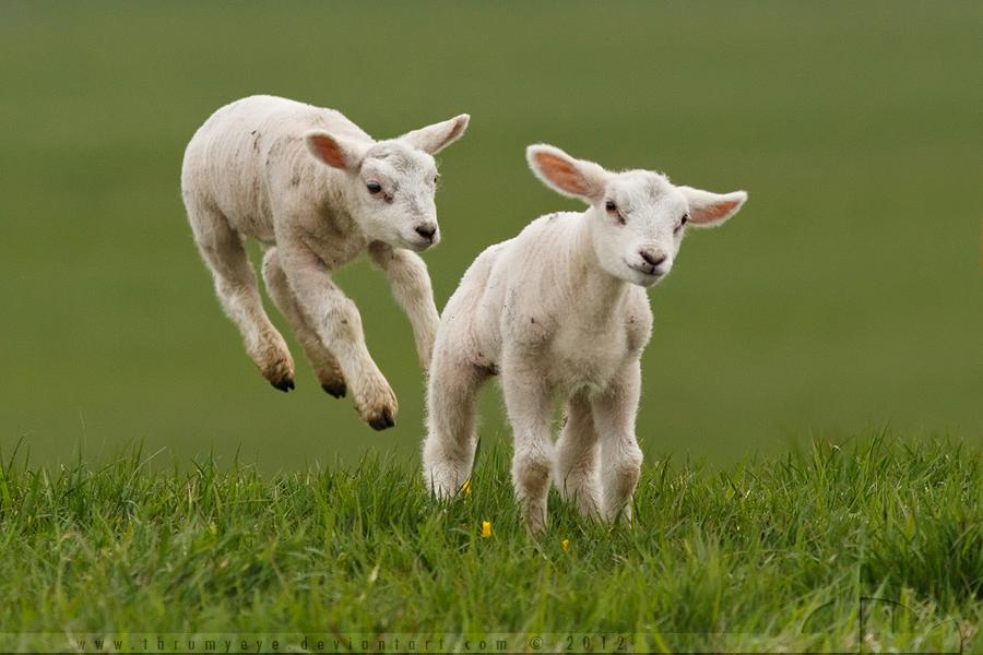 Levitating Lamb By Thrumyeye