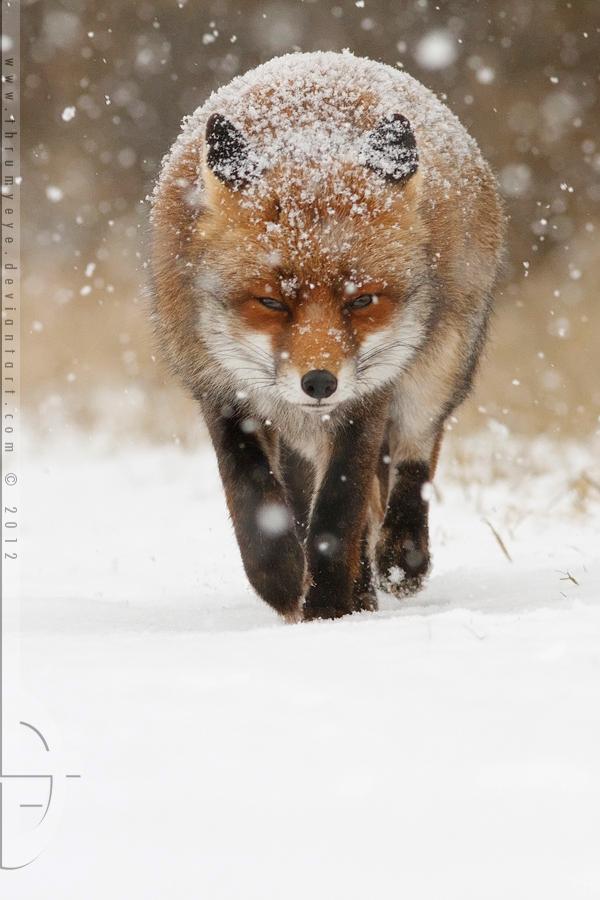 Frontal Fox by thrumyeye