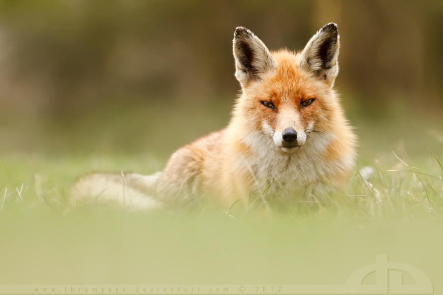 SoftFox by thrumyeye