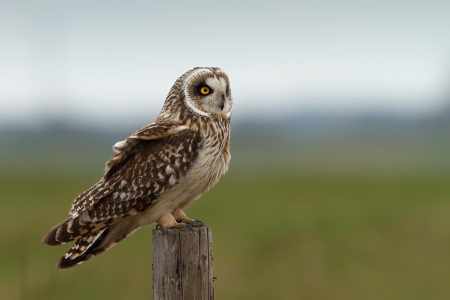 Short Eared Owl by thrumyeye
