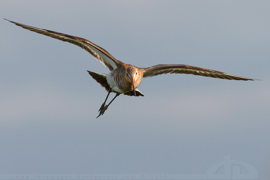 Godwit Coming In by thrumyeye