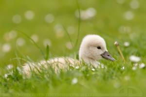 Not an Ugly Duckling by thrumyeye