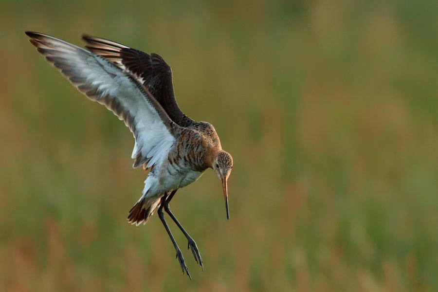 Landing Godwit by thrumyeye