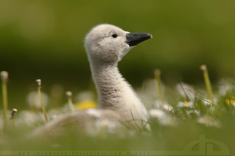 The Smiling Swanling by thrumyeye