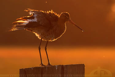 Golden Godwit by thrumyeye