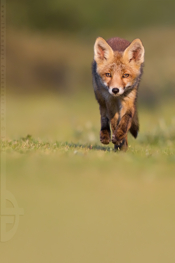 Running Fox Cub by thrumyeye