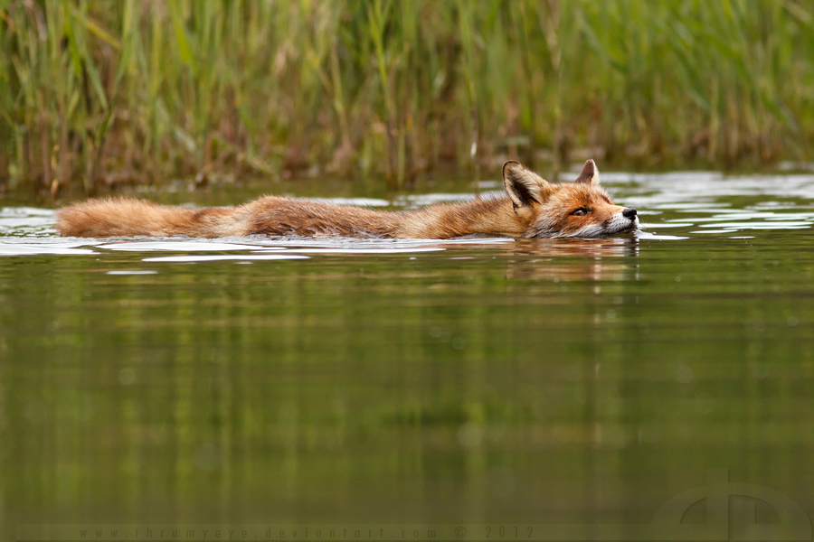 Swimming Fox by thrumyeye