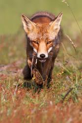 Fox 'n Mouse by thrumyeye