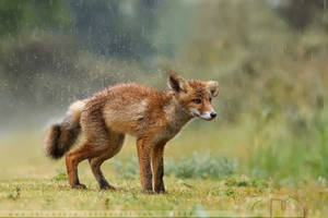 Wet Fox Kit by thrumyeye