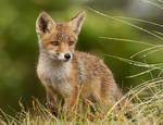 The Wet Fox Kit