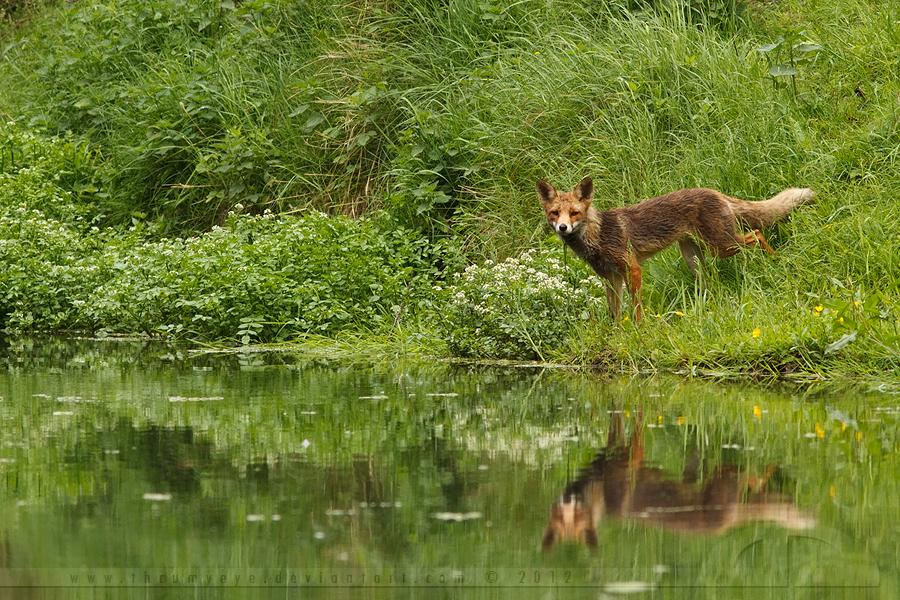 Fox Reflections by thrumyeye
