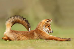 Stretch Fox by thrumyeye