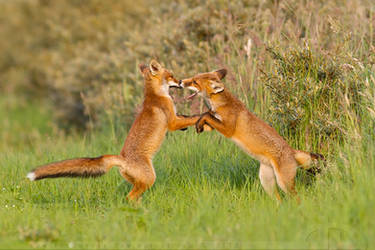 Fox Fight by thrumyeye
