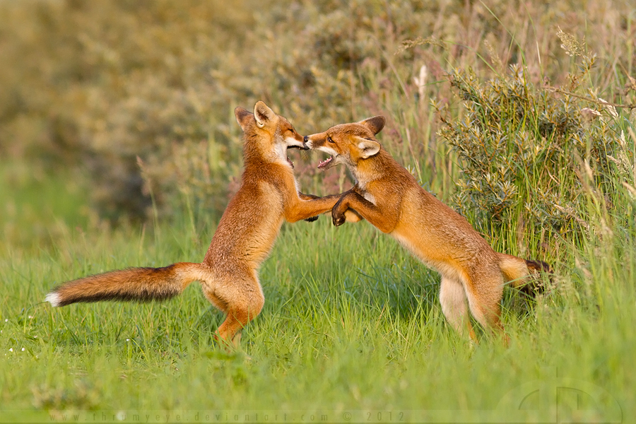 Fox Fight by thrumyeye
