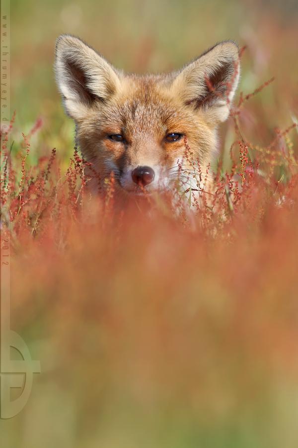 Peek-a-Boo-Fox by thrumyeye