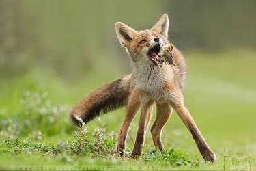 Foxes 'n Votes by thrumyeye