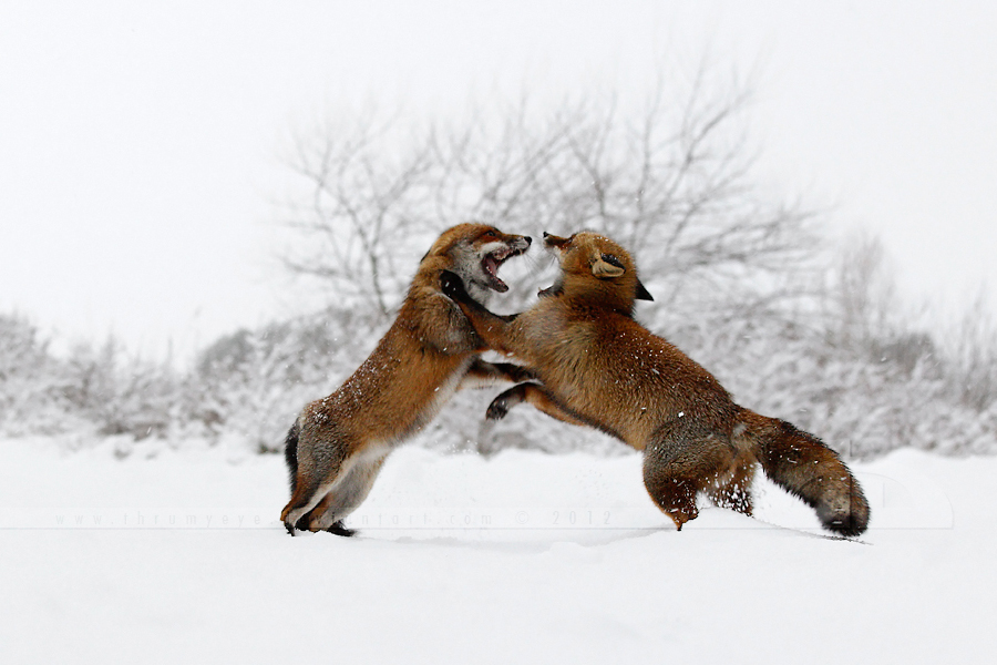 Fighting Foxes in the Snow