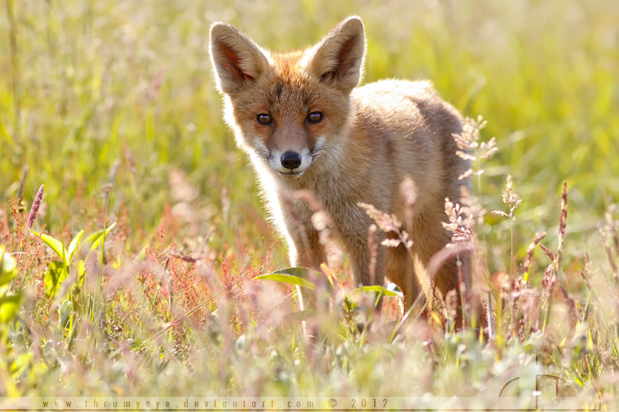 A Fox Summer Bouquet by thrumyeye