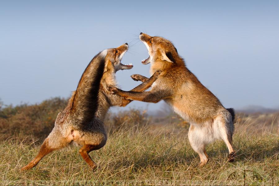 A Fox Fight by thrumyeye