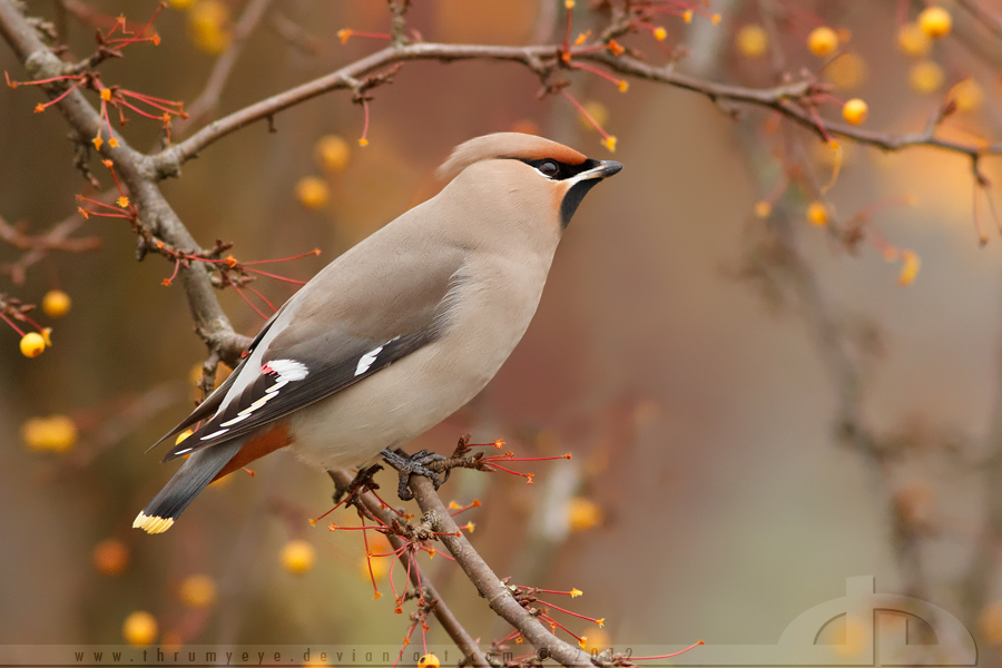 Waxwing Fever by *thrumyeye