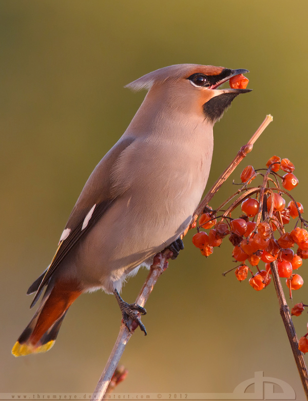 The Waxwing and the Berry by thrumyeye