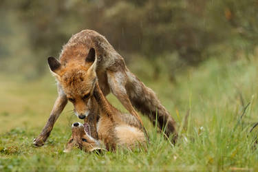 Arguing Foxes on a Rainy Day by thrumyeye