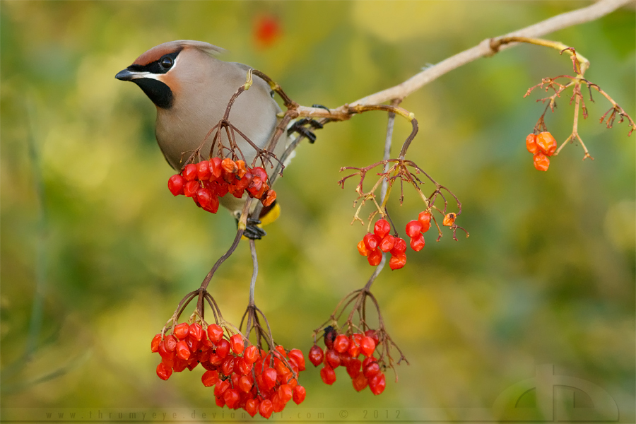 Loving Waxwings by thrumyeye