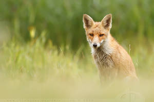 SummerFox